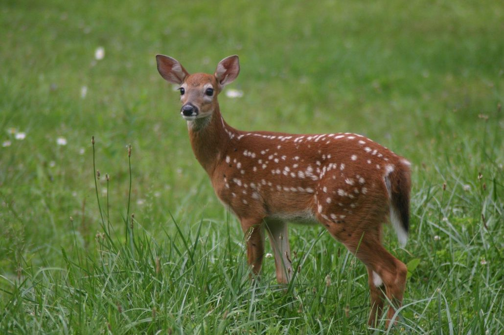 deer in grass, deer accident happen more when driving in late fall in Wichita