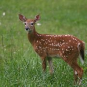 deer in grass. Fall is the time to be alert for possible deer collisions.