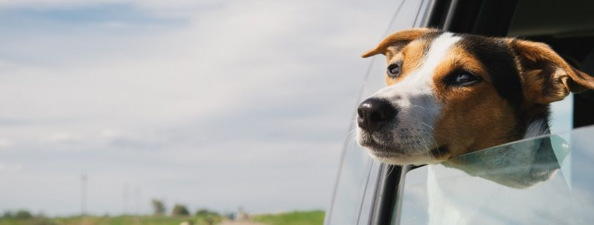 Photo of beagle puppy with his head out of a moving vehicle